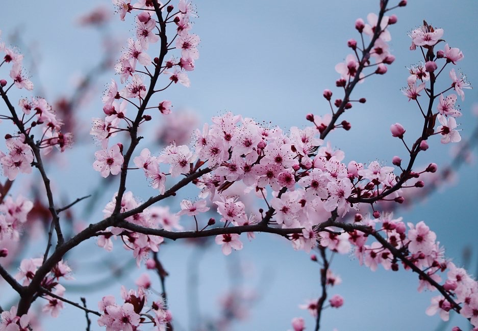 Cherry Blossom by Emily M
